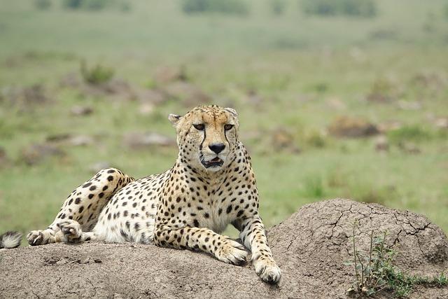 Wildlife, Nature, Mammal, Animal, Safari, Cheetah