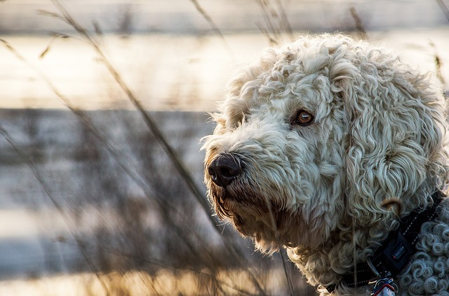Goldendoodle, Hybrid, Animal, Nature, Dog, Mammal