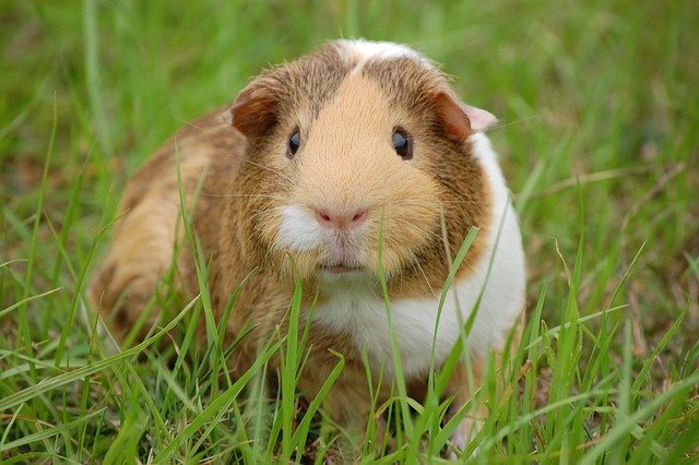 Guinea Pig, Cavy, Pet, Guinea, Rodent, Mammal, Animal