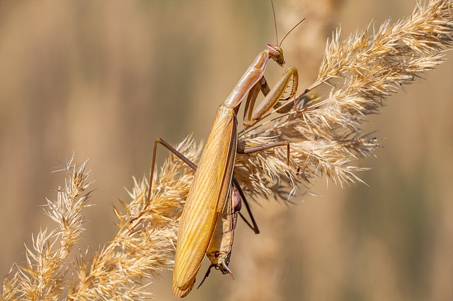 Mantis, Insect, Nature, Animal, Biology, Wildlife