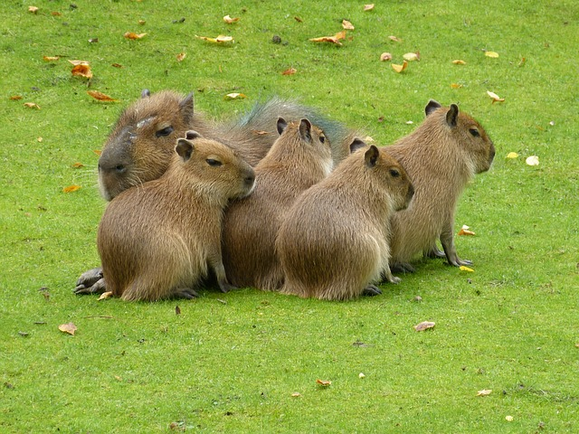Zoo, Mammals, Animal, Capybara, Meadow, Group, Snuggle
