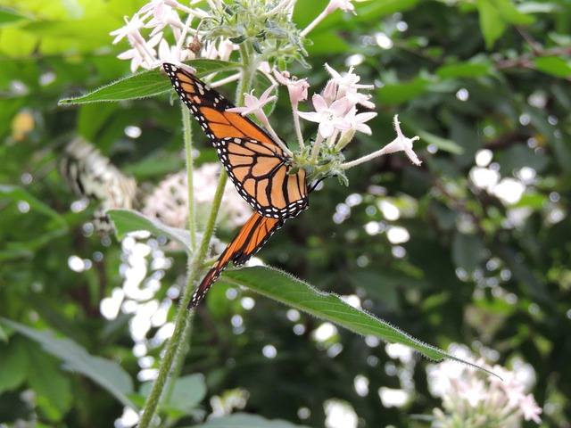 Monarch Butterfly, Danaus Plexippus, Butterfly, Animal