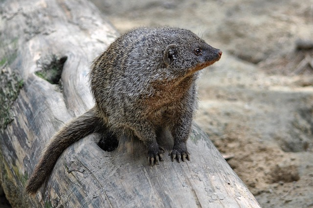 Mongoose, Mammal, Animal, Creature, Banded Mongoose