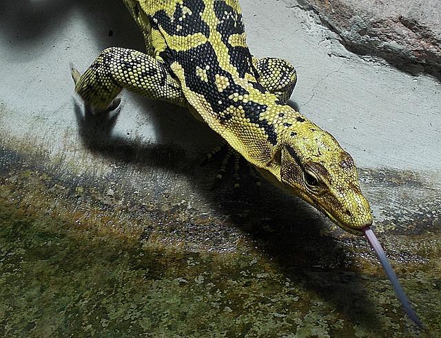 Animal, Lizard, Monitor, Animal World, Tongue