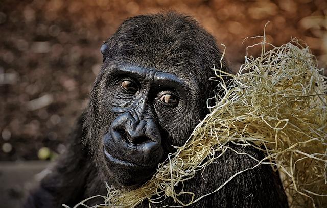 Monkey, Animal, Mammal, Gorilla, Omnivore, Portrait