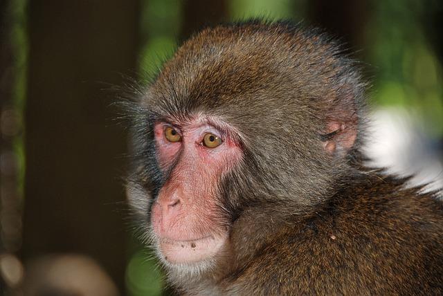Makake, Monkey, Monkey Portrait, Primate, Animal