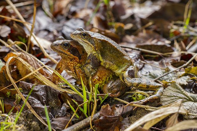 Frog, Pairing, Nature, Animal World, Animal, Reptile