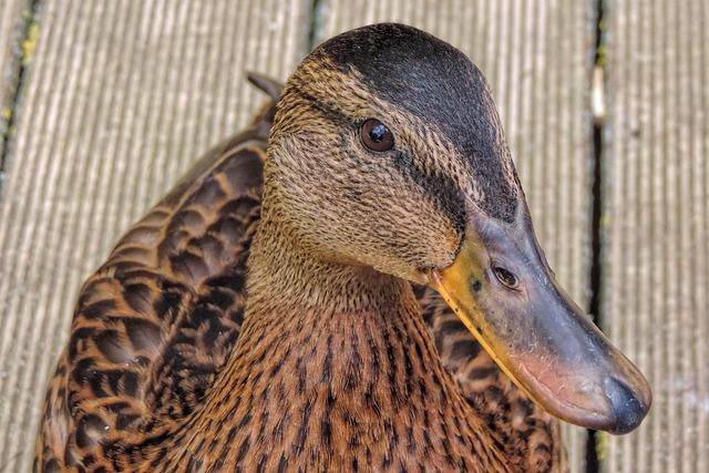 Duck, Mallard, Nature, Animal, Animal World, Wild