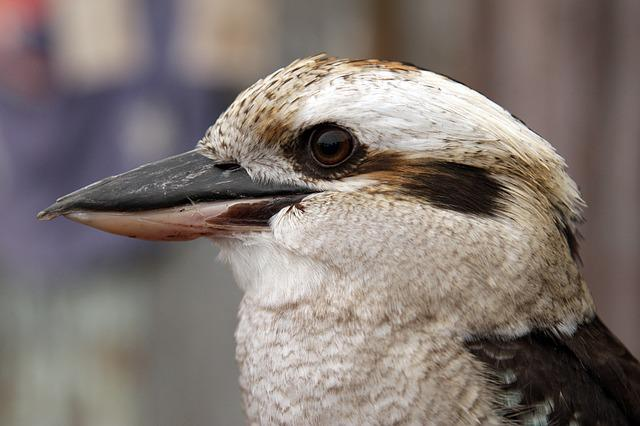Kookaburra, Bird, Australia, Nature, Wildlife, Animal