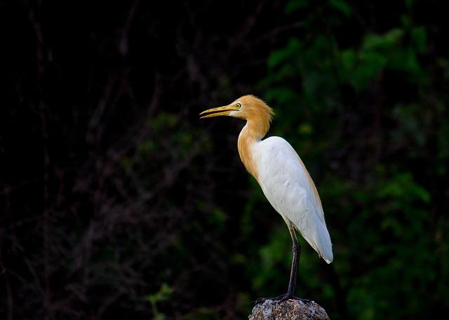 Cattle Egret, Bird, Animal, Nature, Egret, Great Egret