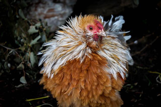 Nature, Bird, Animal, Hahn, Chickens, Feather