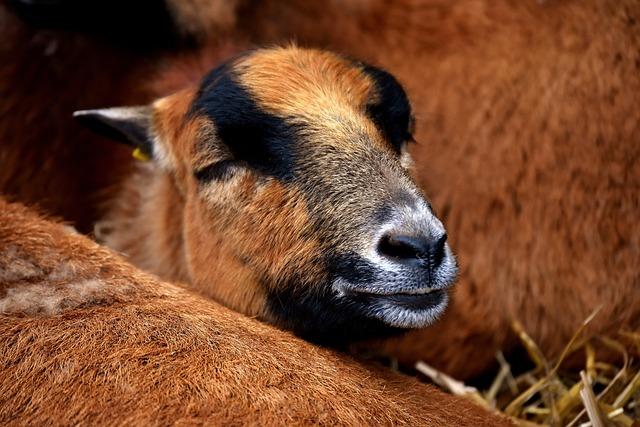 Sheep, Animal, Nature, Animal Portrait, Cute