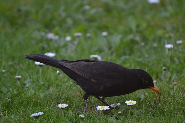 Blackbird, Bird, Earthworm, Eat, Fly, Nature, Animal