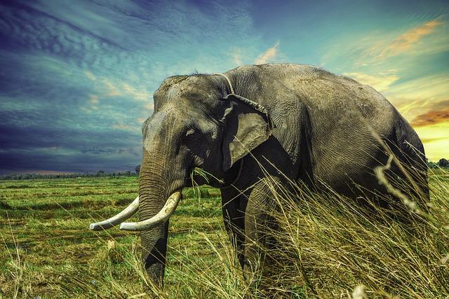 Elephant, Mamma, Animal, Nature, Surin Province