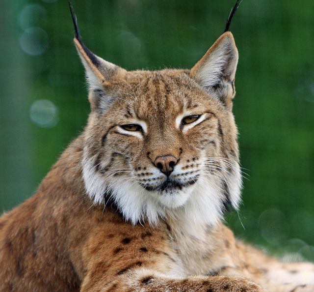 Bobcat, Lynx, Big Cat, Feline, Wildlife, Animal, Nature