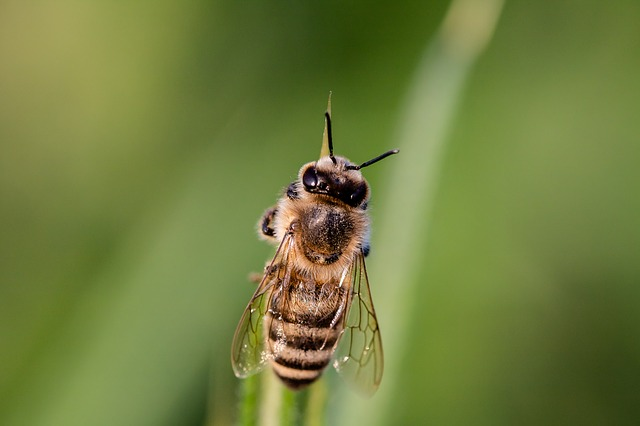 Hoverfly, Bee, Syrphidae, Nature, Wing, Animal, Insect