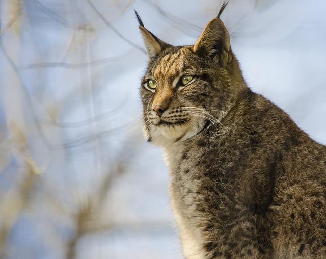 Cat, Mammal, Animal, Lynx, Nature, Wildcat, Predator