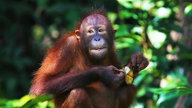 Orangutan, Ape, Primate, Animal, Nature, Borneo, Mammal