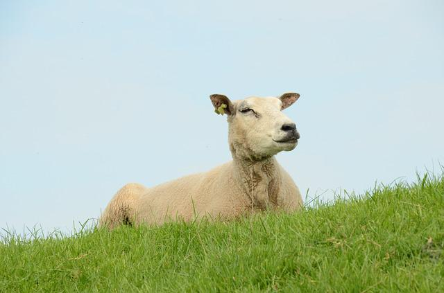 Nature, Farm, Animal, Mammal, Sheep, Pasture