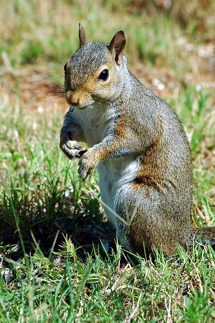 Squirrel, Rodent, Wildlife, Animal, Mammal, Nature