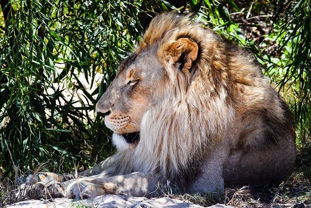 Lion, Nature, Wildlife, Mammal, Animal, Wild