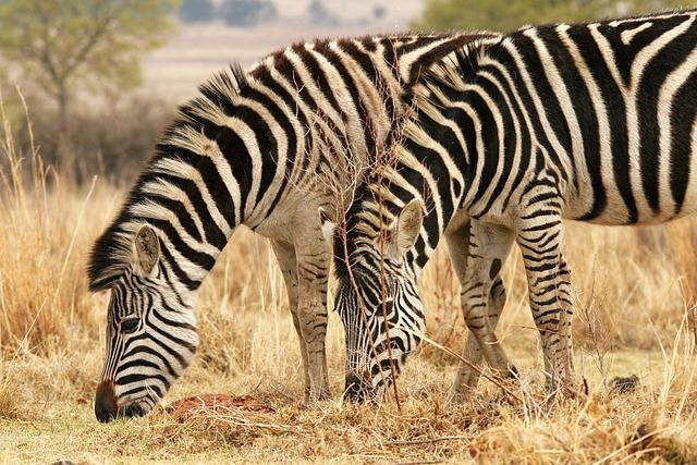 Zebra, Animal, Mammal, Game, Wildlife, Nature, Grass