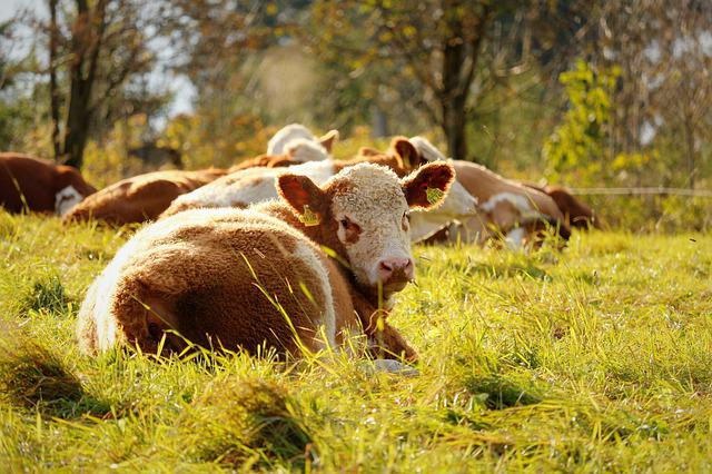 Cow, Meadow, Cows, Animal, Pasture, Nature, Cattle