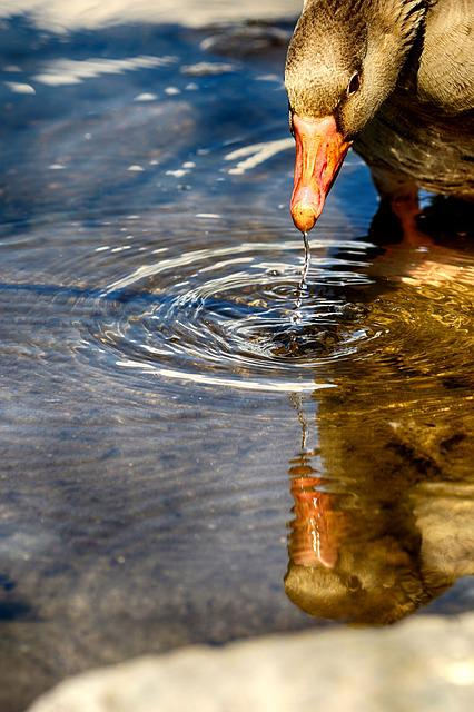 Goose, Water, Nature, Reflection, And, Animal, Bird