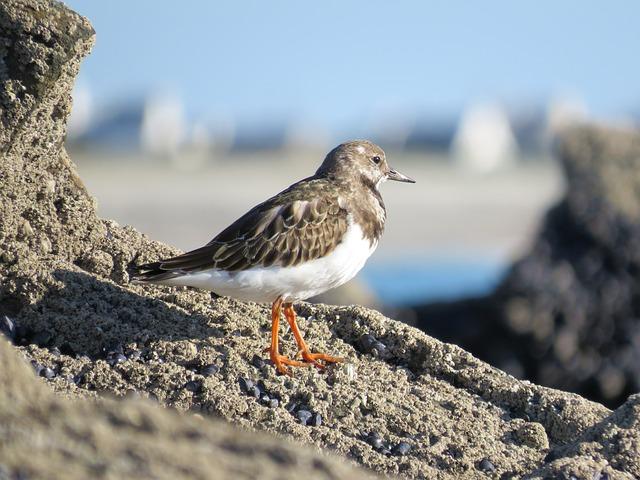 Ruddy Turnstone, Bird, Animal, Wildlife, Fauna, Nature
