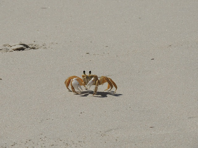 Crab, Siri, Beach, Sand, Nature, Animal