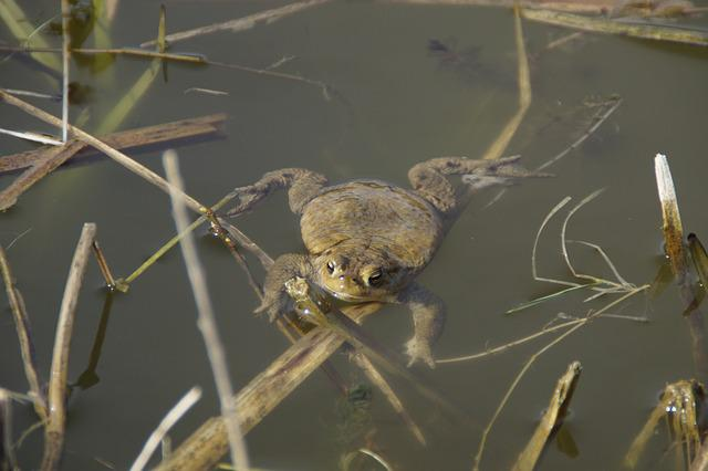 Nature, Animal World, Animal, Toad, Swim, Water, Waters