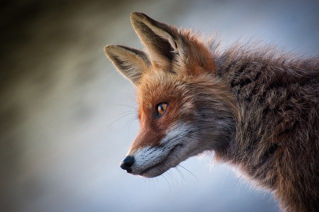 Fox, Mammal, Animal, Nature, Cute, Animals, Young, Wild