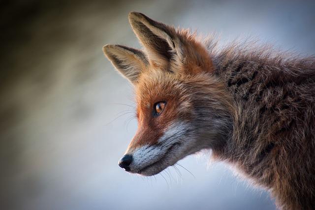 Fox, Mammal, Animal, Nature, Cute, Animals, Young, Wild