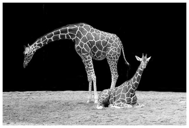 Giraffe, Neck, Animal, Black And White, Zoo