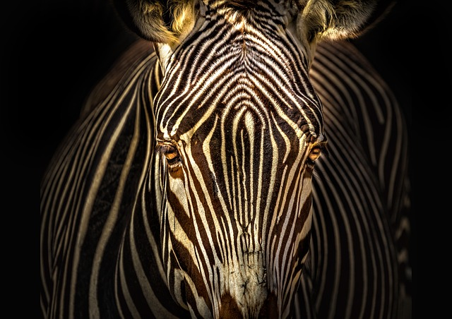 Nature, Fauna, No Person, Zebra, Animal