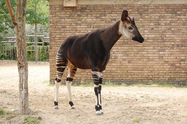 Okapi, Animal, Zoo, Mammal, Africa