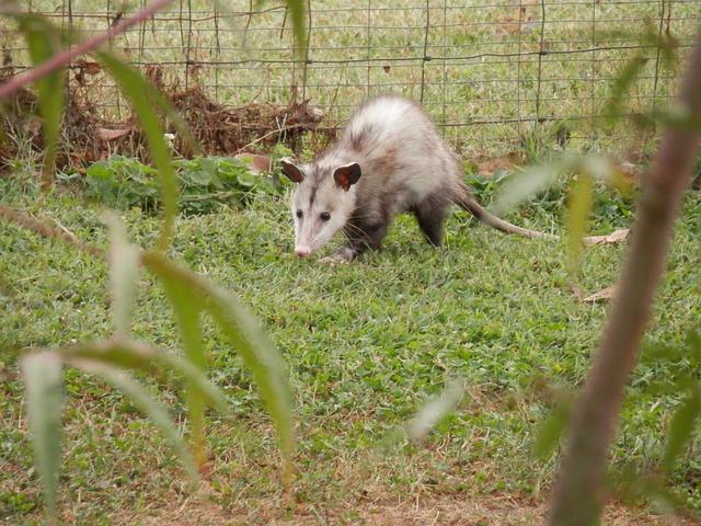 Possum, Opossum, Marsupial, Animal, Wildlife, Wild