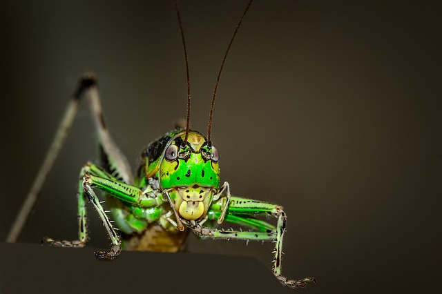 Grasshopper, Ornithopter, Insect, Animal, Green, Macro