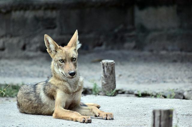 Coyote, Animal, Zoo, Nature, Outdoors, Creature