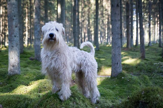 Animal, Dog, Wheaten, Forest, Outdoors, Wood, Tree