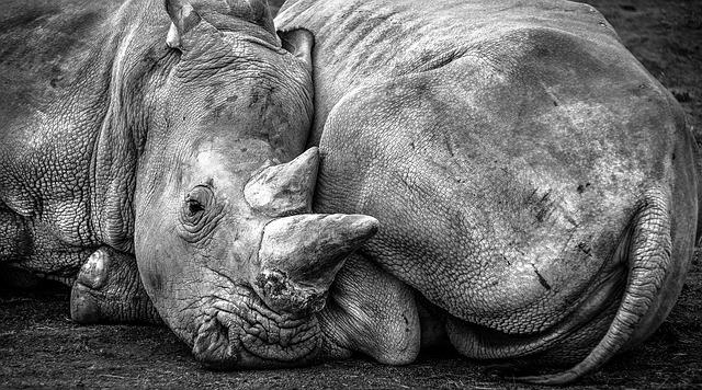 Rhino, Africa, Pachyderm, Animal, Black And White, Horn