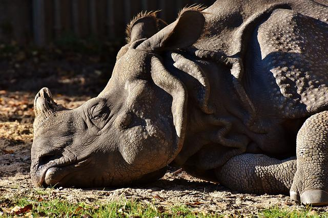 rhinoceros and world Rhinoceros fact sheet status: endangered description: there are five species of rhinos — two african and three asian the african species are.