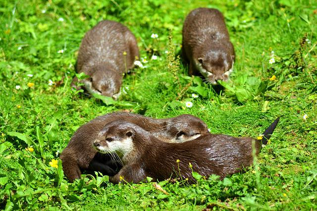 Otter, Animal, Wildlife Photography, Pack, Meadow