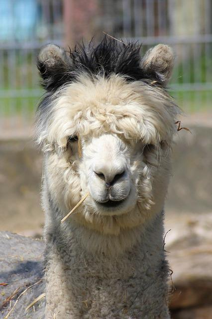 Alpaca, Pako, Mammal, Animal, Wool