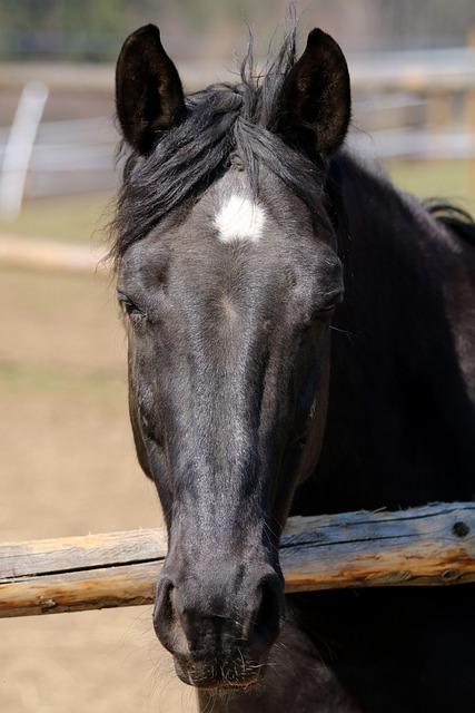 Black Horse, Head, Animal, Pen
