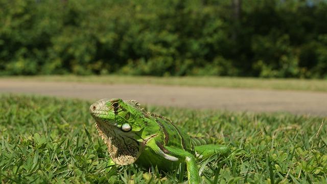 Chameleon, Iguana, Bug, Animal, Nature, Pet Animal