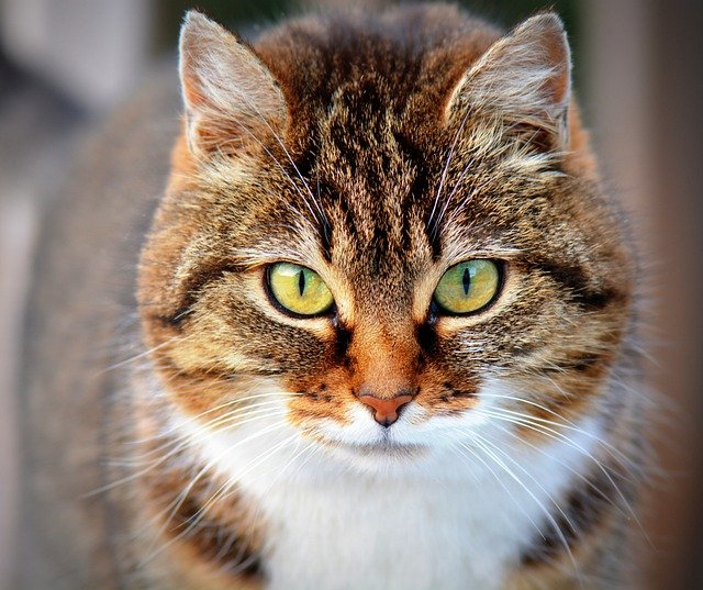 Cat, Animal, Pet, Cats, Close Up