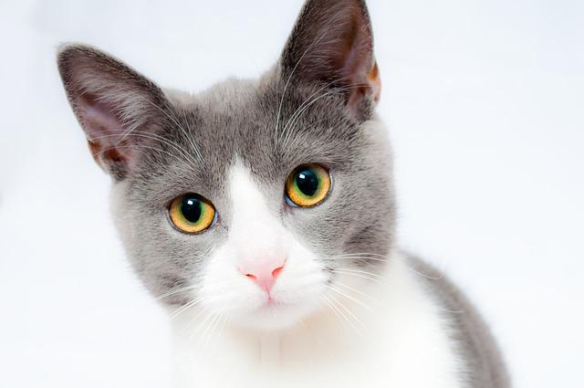 Cat, Pet, Animal, Domestic, Fur, Portrait, Cute, Feline