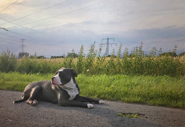 American Bully, Dog, Animal, Pet, Puppy, Young Dog