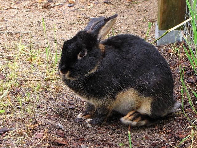 Rabbit, Oryctolagus, Pet, Animal